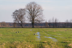 Wild geese on a field. Evening shot of wild geese on a stopover migration, Germany Royalty Free Stock Photos