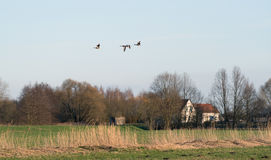 Wild geese on a field. Evening shot of wild geese on a stopover migration, Germany Royalty Free Stock Photography