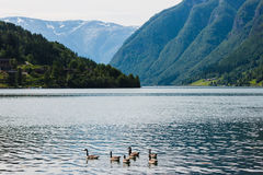 Wild geese in the fjord Royalty Free Stock Images