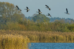 Wild Geese in flight. Royalty Free Stock Image