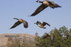 Wild geese in flight Stock Photos