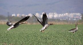 Wild geese in flight Royalty Free Stock Photography