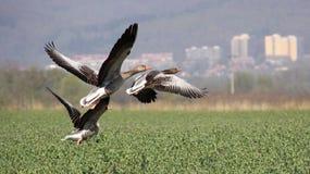 Wild geese in flight Royalty Free Stock Photos
