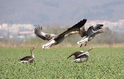 Wild geese in flight Royalty Free Stock Photo