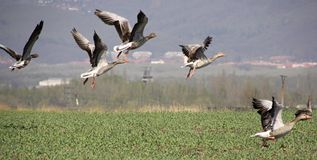 Wild geese in flight Royalty Free Stock Image
