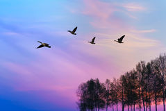 Wild Geese flying in the autumn landscape stock image