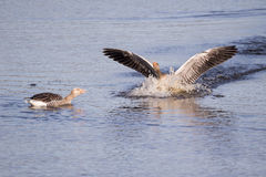 Wild geese Stock Photos