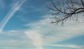 Wild geese flying in formation in cloudy sky with bare tree branch in foreground royalty free stock photography