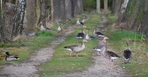 Wild geese on a forest path, South Bohemia Stock Photography