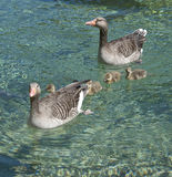 Wild geese with goslings Royalty Free Stock Image