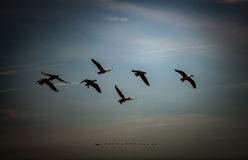 Wild Geese Stock Photography