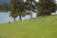Geese on a green field on the lake shore, Jasper National Park stock image