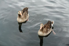 Wild geese. On a lake Royalty Free Stock Image