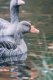 Wild geese in lake. A close up of wild geese in a lake in north Germany Stock Image