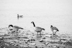 The wild geese. On the lake in daylight Royalty Free Stock Photography