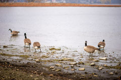 Wild geese. On the lake in daylight Stock Photography