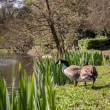 Wild geese by the lake on sunny day Stock Photos