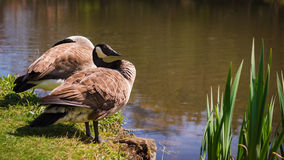 Wild geese by the lake on sunny day Stock Image