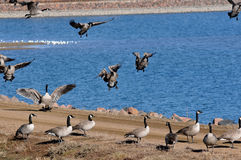 Wild Geese at Lakeside Stock Photography