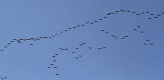 Wild Geese Migrating. Stock Photo