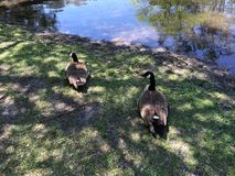 Wild geese near the water stock photography
