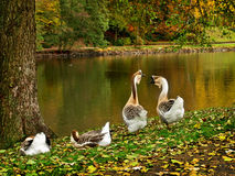 Wild geese in the park Royalty Free Stock Images