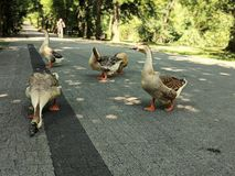 Wild geese on park alley. Wild, natute, animal, path, road, city, urban, duck royalty free stock photo