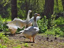 Wild geese in the park. royalty free stock photography