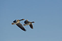 Wild geese of the po delta. Wild geese flying in the Po Delta Stock Photo
