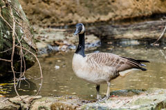 Wild geese in the pond. Gray wild geese in the pond Stock Images