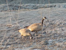 Wild geese Royalty Free Stock Photo