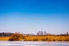 Wild geese return from warm edges, early spring, fine day_ stock images