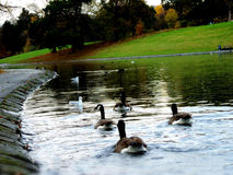 Wild geese in a river. With seagull and green back ground Royalty Free Stock Photo