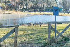Wild geese on the shore of the lake. Wild geese are looking for food on the shore of the lake Royalty Free Stock Image