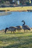 Wild geese on the shore of the lake. Wild geese are looking for food on the shore of the lake Stock Photography