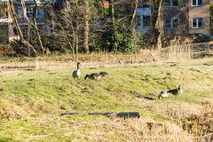 Wild geese on the shore of the lake. Wild geese are looking for food on the shore of the lake Stock Image
