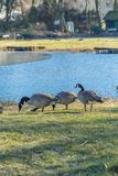 Wild geese on the shore of the lake. Wild geese are looking for food on the shore of the lake Stock Images