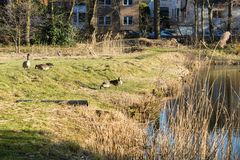 Wild geese on the shore of the lake. Wild geese are looking for food on the shore of the lake Stock Photos