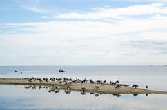 Wild geese at a small island Royalty Free Stock Photography