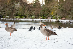 Wild geese, snow covered landscape Royalty Free Stock Photo