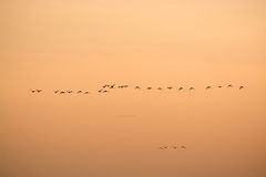 Wild Geese in the Sunset Stock Image