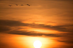 Wild Geese in the Sunset Royalty Free Stock Photos