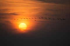 Wild Geese in the Sunset Stock Images