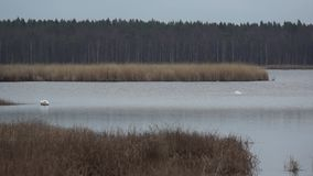 Wild geese and swans in the Slokas lake stock video footage