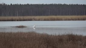 Wild geese and swans in the Slokas lake stock video