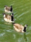 Wild geese swim. Green water Royalty Free Stock Image