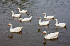 Wild geese swimming in a lake. Eight wild geese swimming in a lake Royalty Free Stock Photo