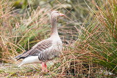 Wild geese. Two Wild Geese on a Meadow in germany Stock Images