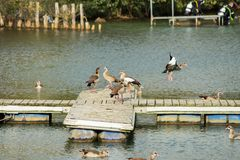 Wild geese are on a wooden pier. Near the water Royalty Free Stock Photography