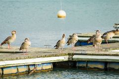 Wild geese are on a wooden pier. Near the water Stock Image